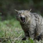 astma bij katten