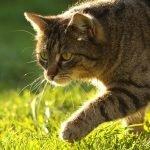 afkomst kat