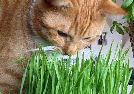 kattengras eten