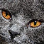 Top 10 van slimste kattenrassen