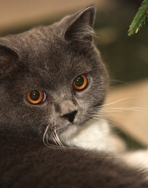 Top 10 van slimste kattenrassen - britse korthaar 2