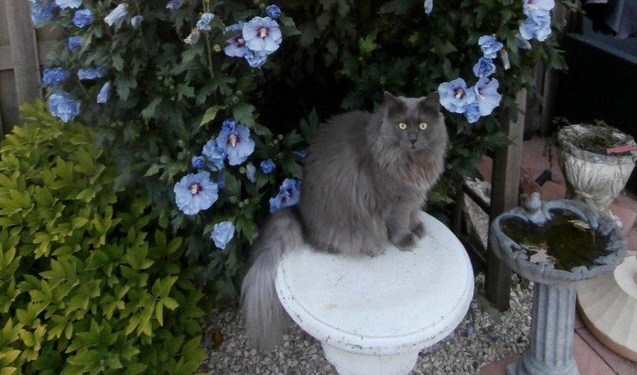 Siberische kat in de tuin