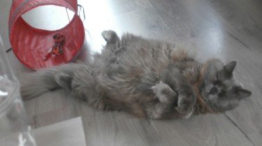 Siberische kat - kattenklub.be