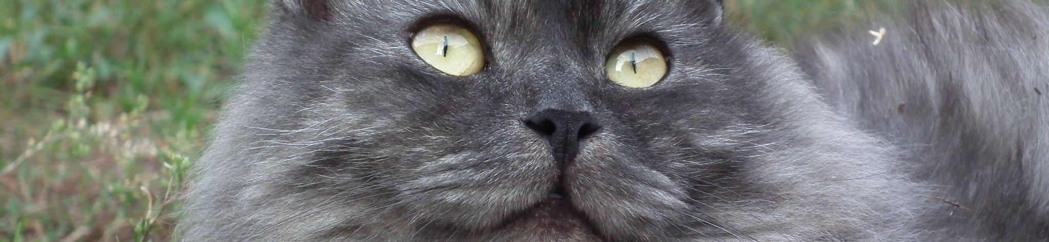 Siberische kat - Siberischekat banner