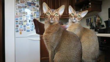 Abessijn kat