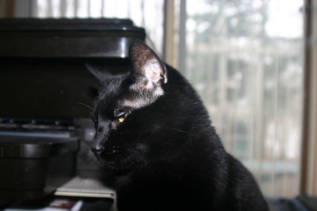 Bombay kat