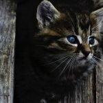 Gevonden katten – Kat vermist
