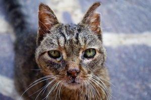Veelvoorkomende kattenziekten